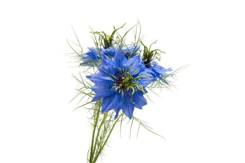 Blå härlig blomma för NIGELLA royaltyfria foton