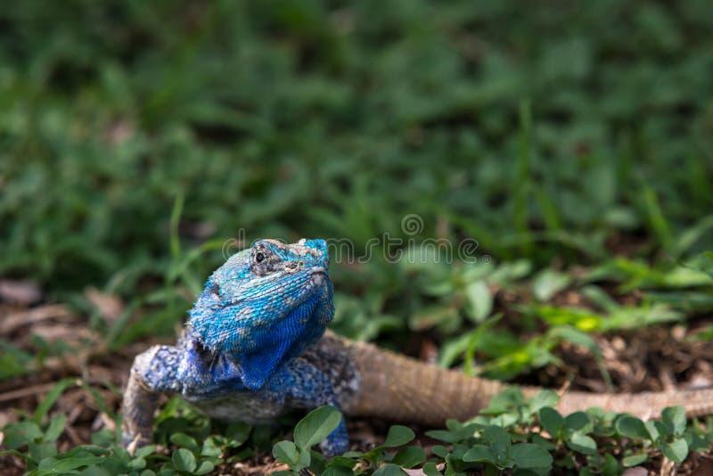 blå hövdad ödla royaltyfri fotografi
