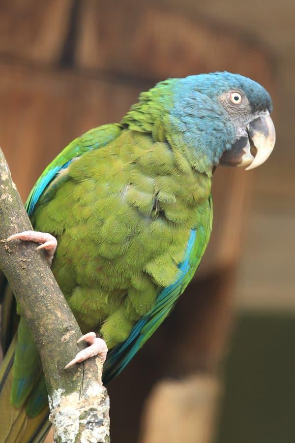 blå hövdad macaw arkivbilder