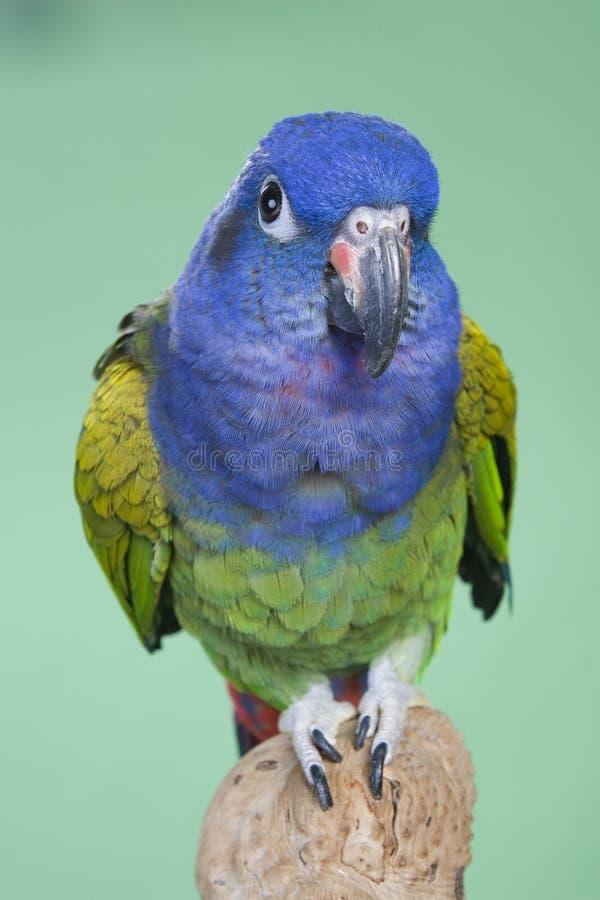 blå hövdad pionus royaltyfri fotografi