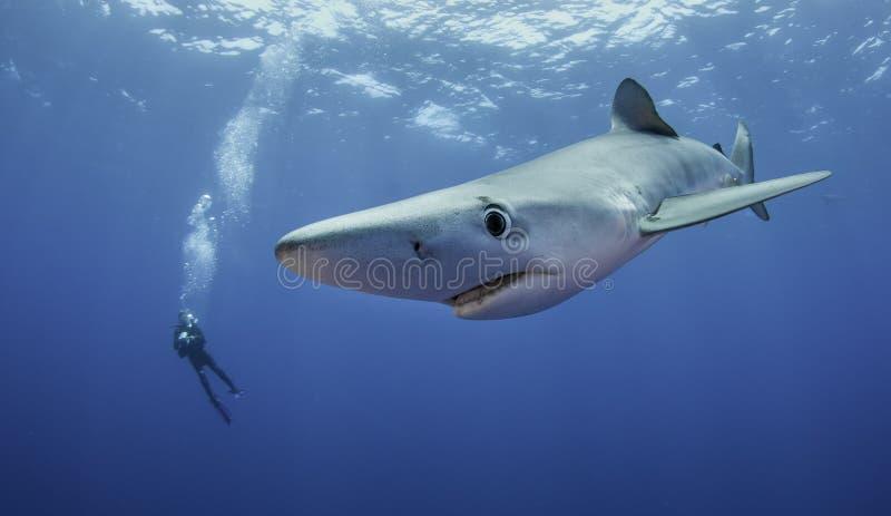 blå haj arkivfoto