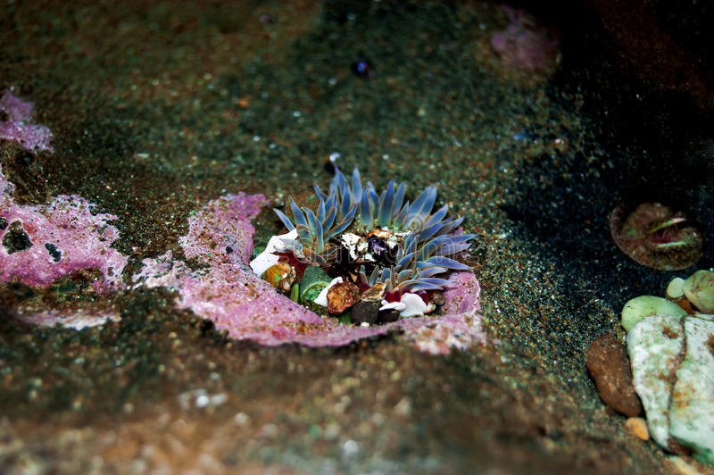 Blå havsanemon royaltyfri fotografi