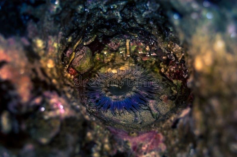 Blå havsanemon arkivbild
