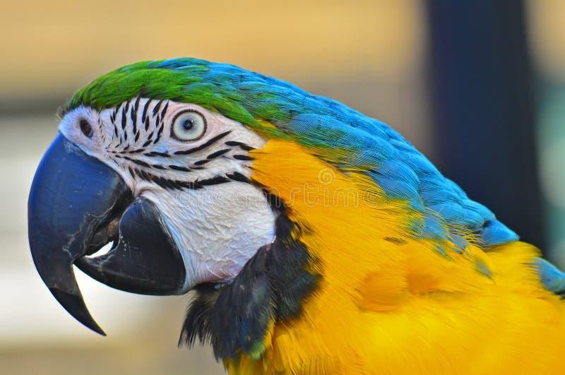 blå head macaw skjuten yellow arkivbilder