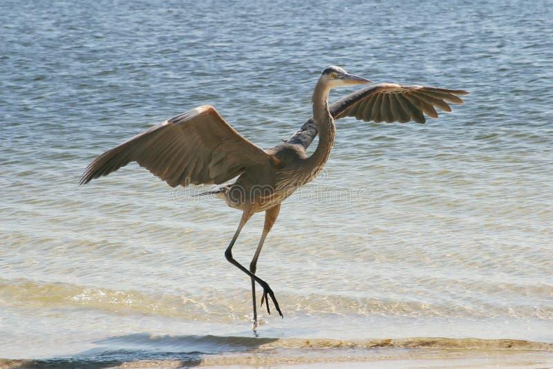 Blå Heronlandning Royaltyfri Fotografi
