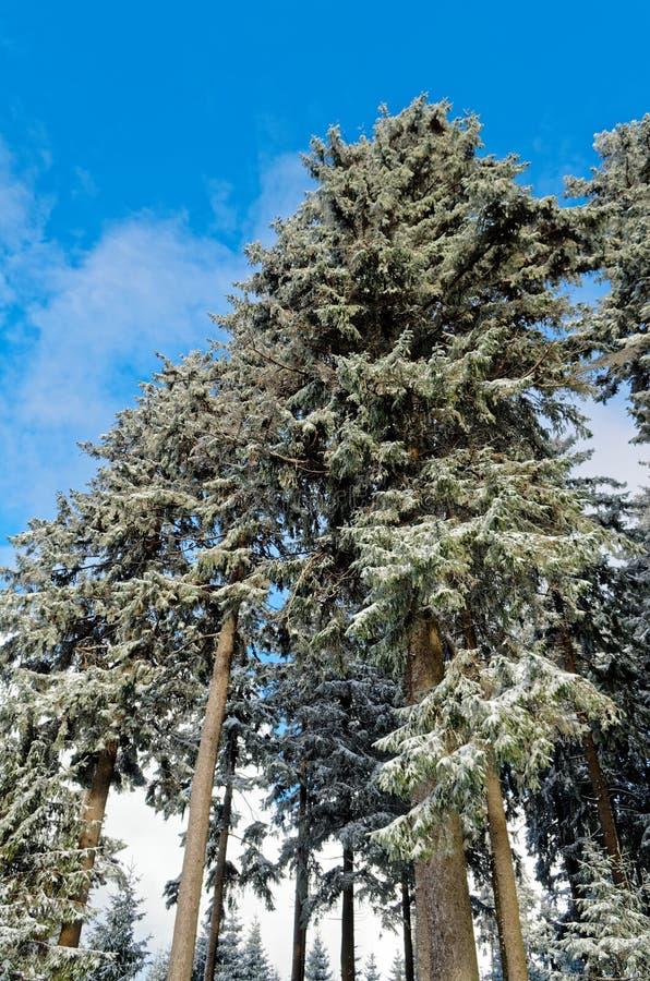 Blå himmel över skog i Harz berg medan vintertid arkivfoto