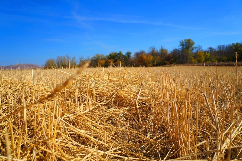 Blå himmel för sugrörfält arkivbilder
