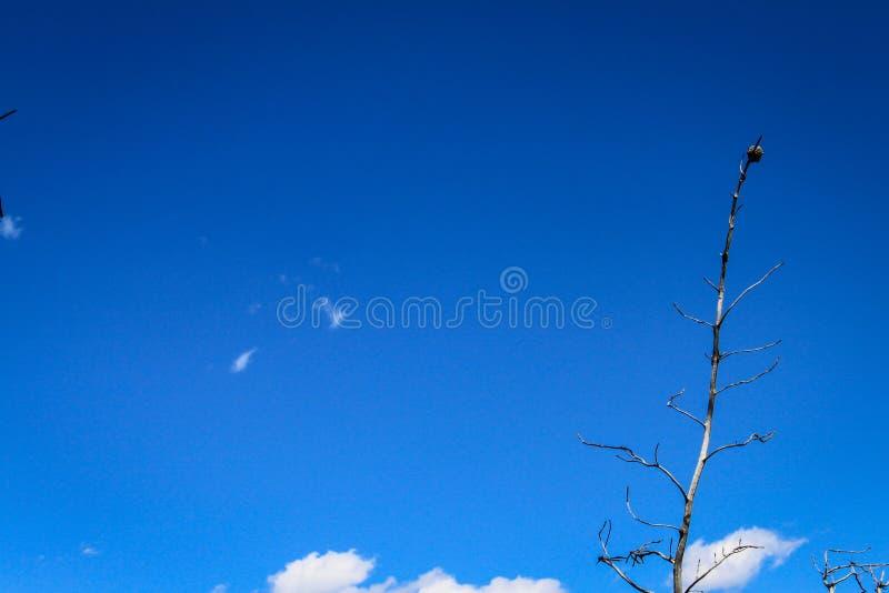 Blå himmel med den torra trädfilialen i den Yellowstone nationalparken arkivfoto