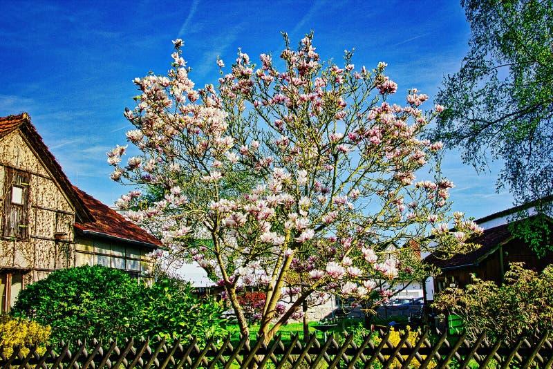 Blå himmel med magnoliablomningen arkivbilder