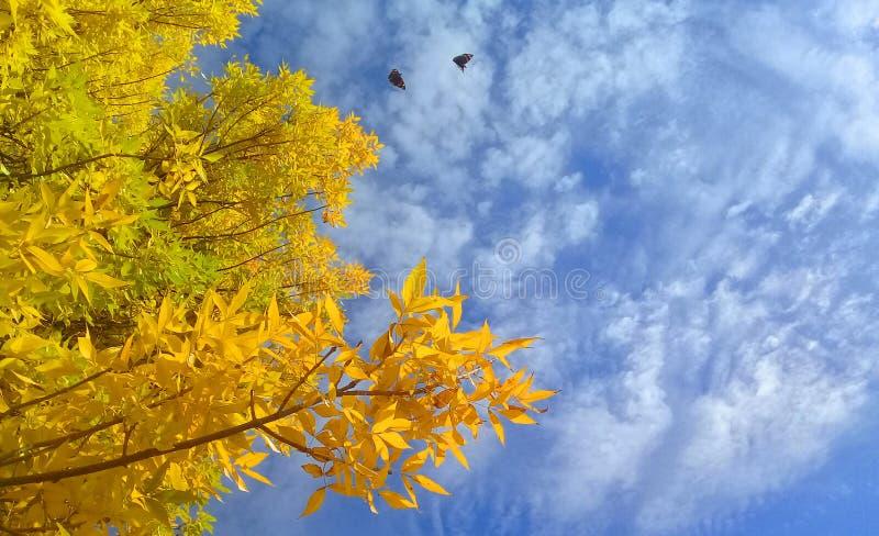 blå himmel och ett träd med gula sidor fotografering för bildbyråer