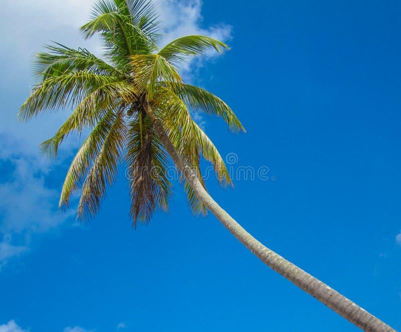 Blå himmel och palmträd royaltyfri foto