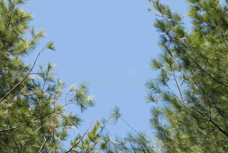 Blå himmel och sörjer lövruskor arkivfoto