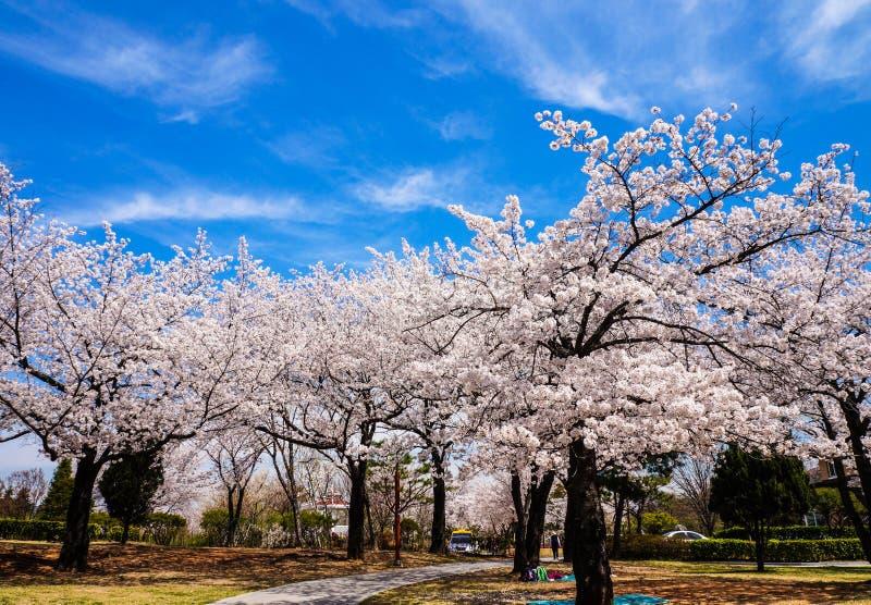 Blå himmel som är full av körsbärsröda blomningar arkivfoto