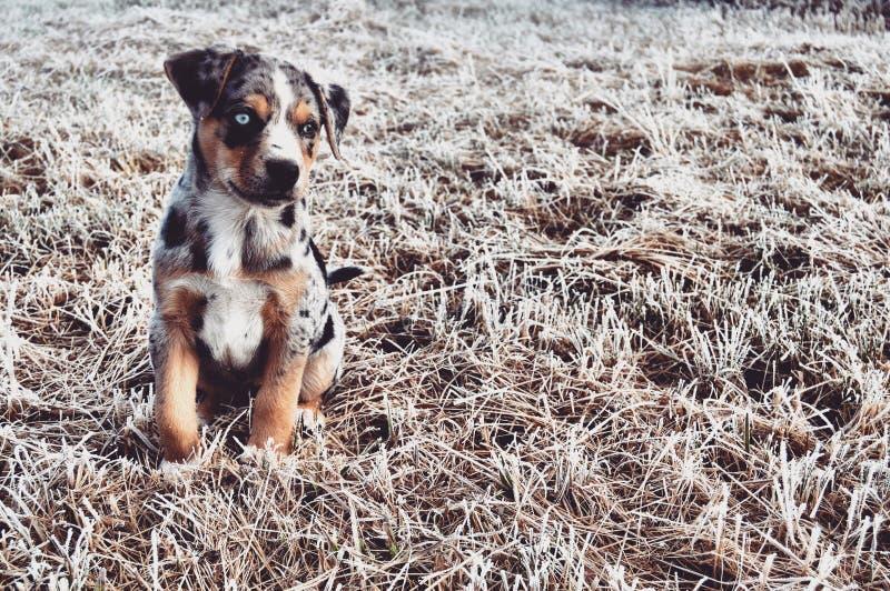 blå hund royaltyfri bild