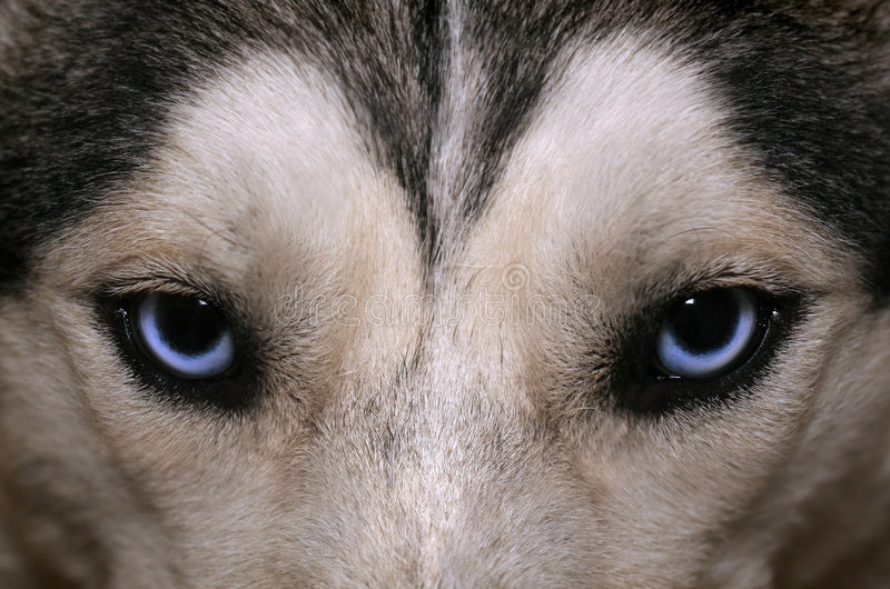 blå husky look s royaltyfri fotografi
