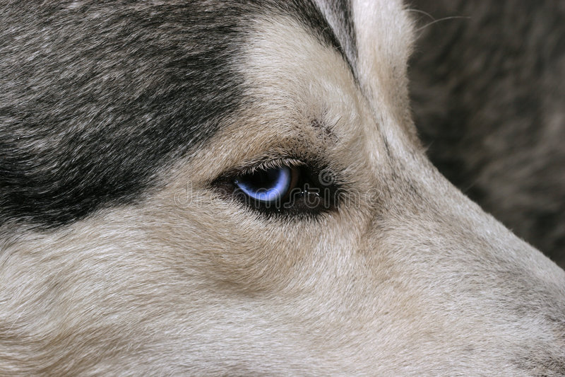 blå husky look s arkivbilder