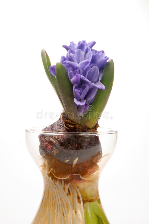 blå hyacint fotografering för bildbyråer