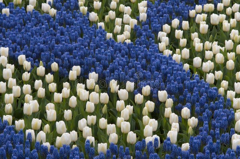 Blå hyacint och vita tulpan fotografering för bildbyråer