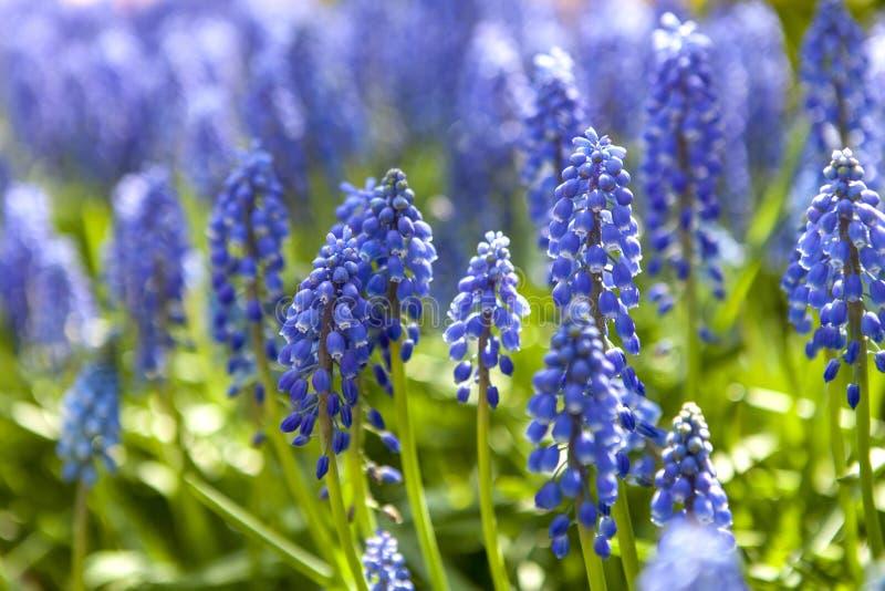 Blå hyacintblomma i closeup royaltyfri foto