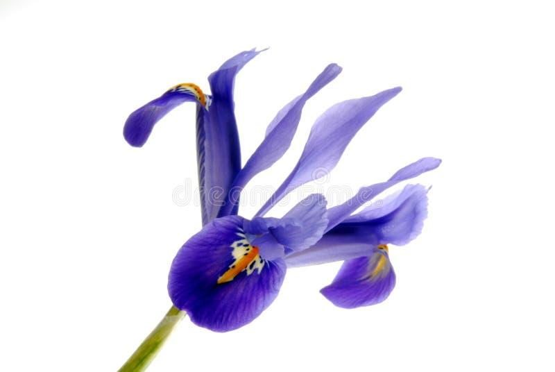 blå iris arkivfoto