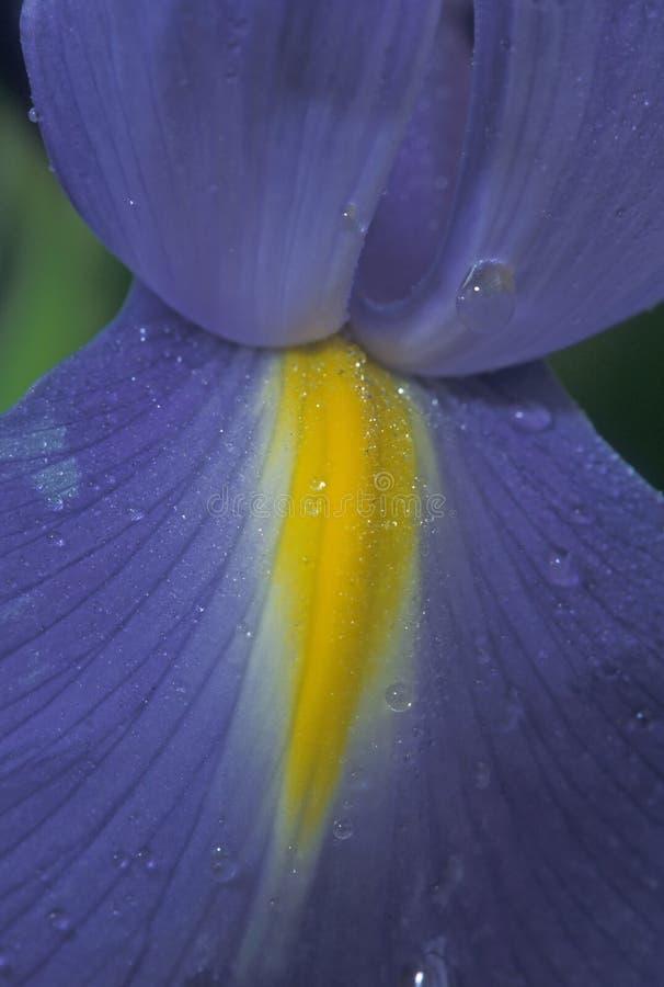 Download Blå iris fotografering för bildbyråer. Bild av makro, flagga - 34385