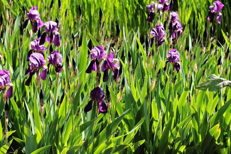 Blå iris i min trädgård royaltyfri foto