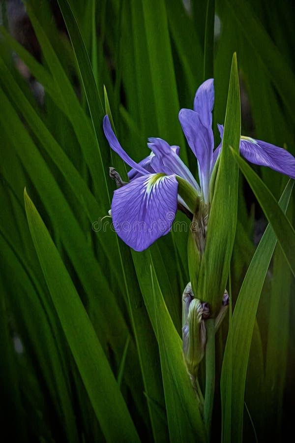 Blå iris på naturmitten arkivfoto