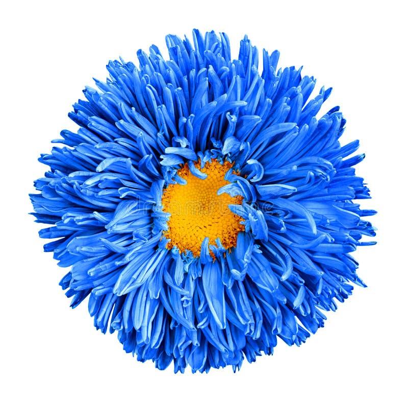 Blå isolerad asterblomma med gult hjärtamakrofotografi fotografering för bildbyråer