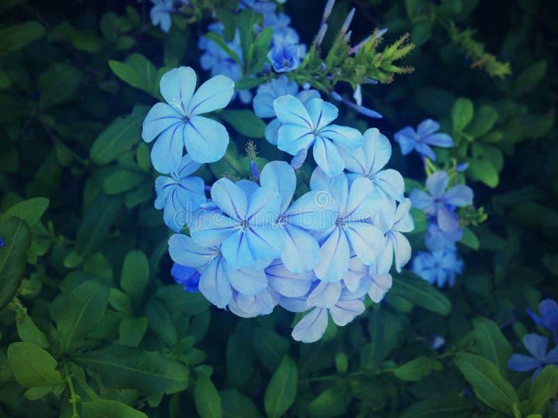 Blå jasmin, härlig blomma, grön bakgrund, natur royaltyfri fotografi