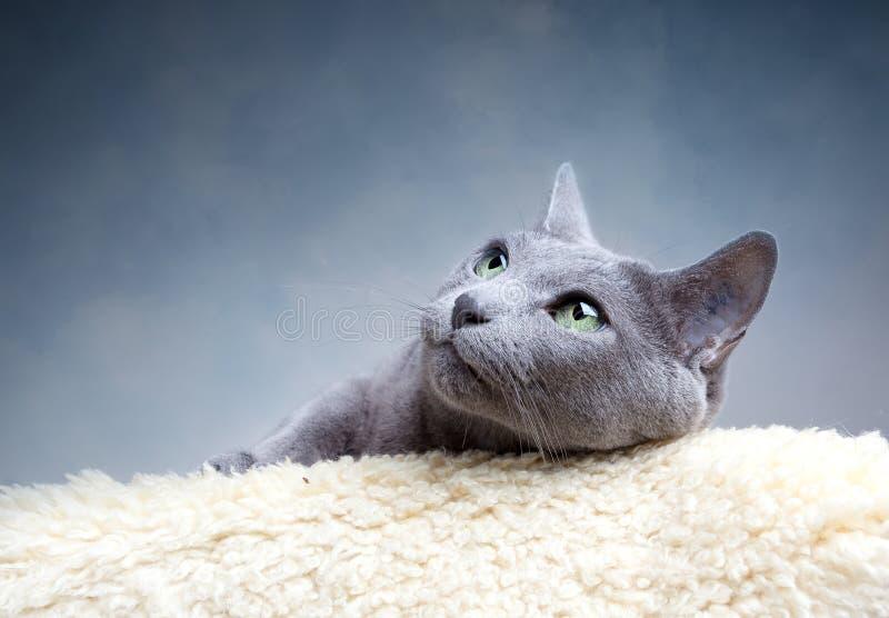 blå kattryss royaltyfri fotografi