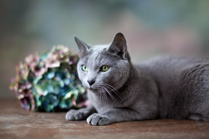 blå kattryss royaltyfria bilder