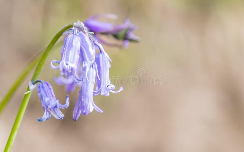 Blå klocka i blom i solen arkivfoton