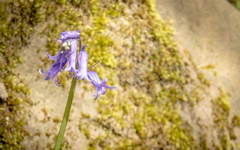 Blå klocka i blom i solen på en härlig dag arkivbild