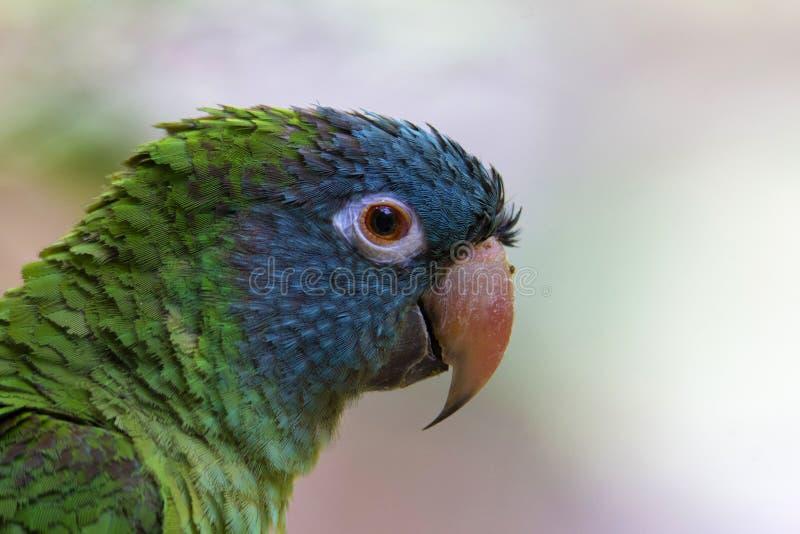 Blå krönad parakiter, Thectocercus acuticaudatus, Jurong fågelfristad, Singapore royaltyfria foton
