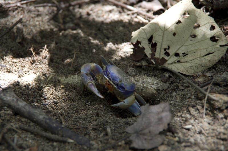blå krabba arkivbild