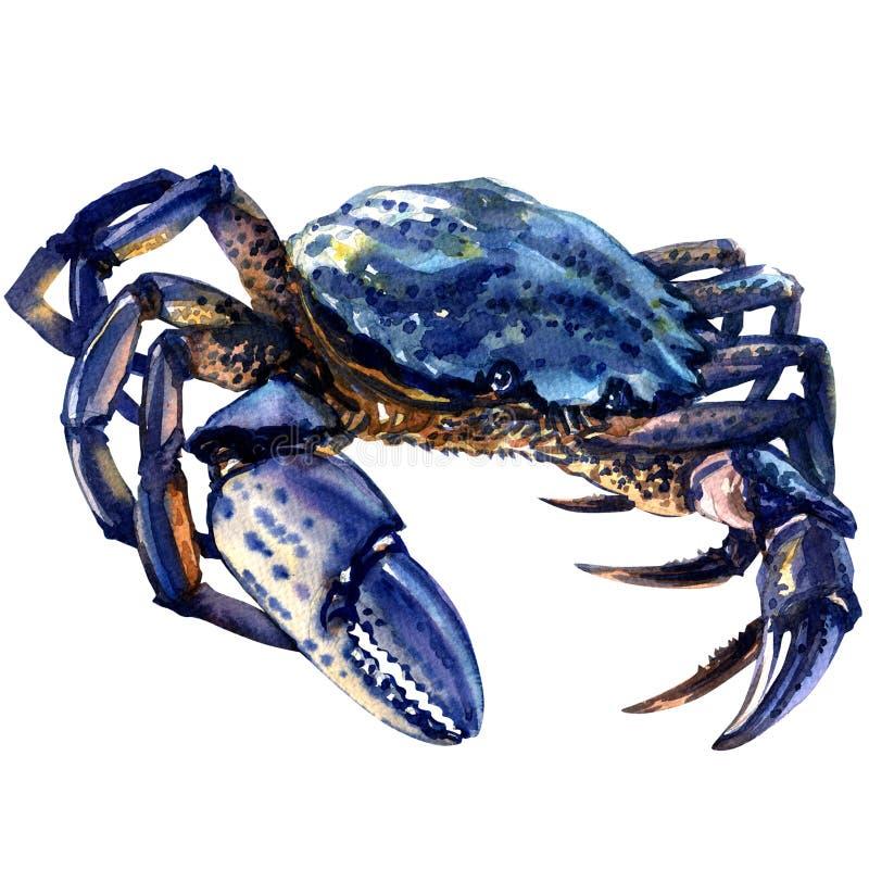 Blå krabba som isoleras på vit bakgrund royaltyfri illustrationer