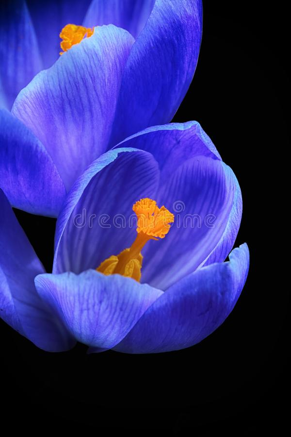 Blå krokus för blomma fotografering för bildbyråer
