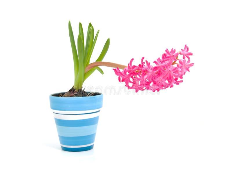 blå kruka för blommahyacintpink royaltyfri foto