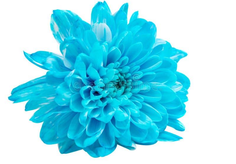 Blå krysantemumblomma fotografering för bildbyråer