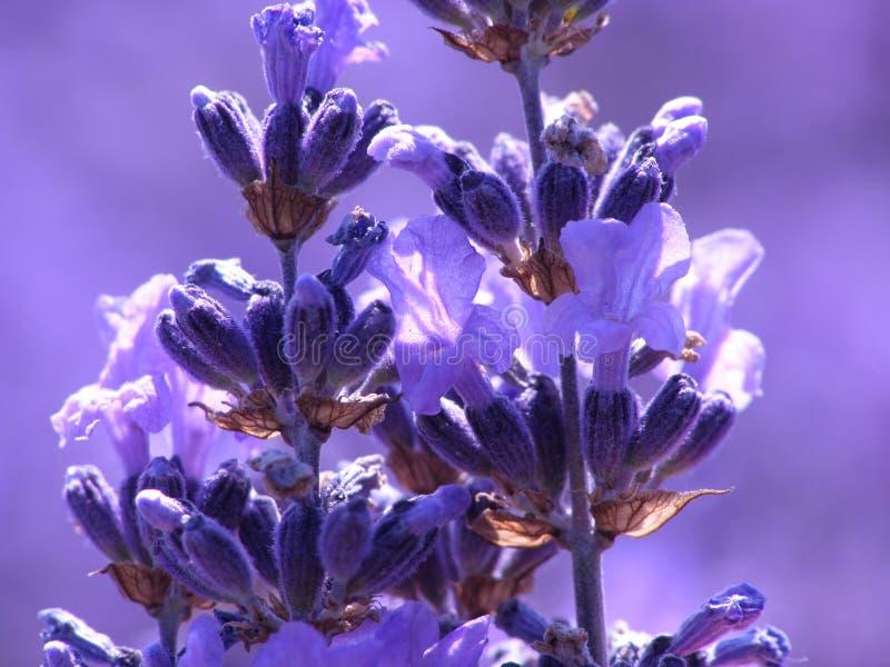 blå lavendel arkivfoto