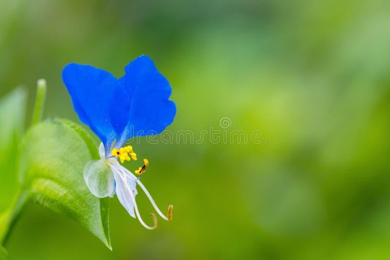 Blå liten blommacloseup arkivfoton
