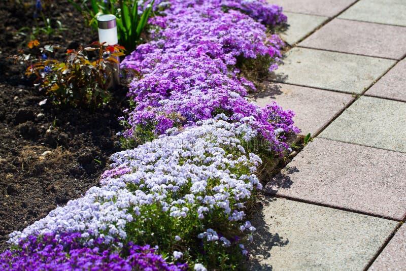 Blå lobelia i blomsterrabatten royaltyfria foton