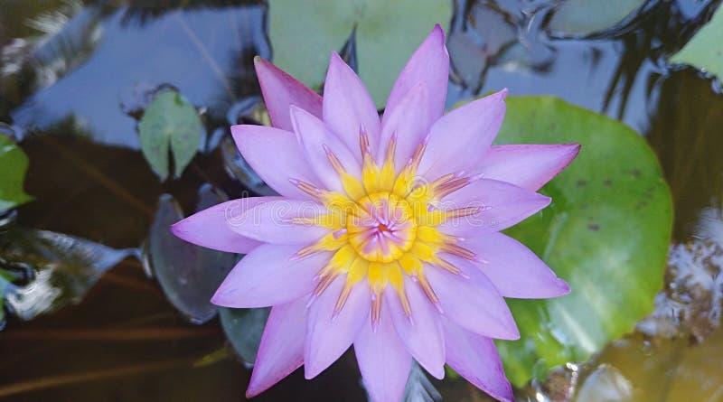Blå lotusblommablomma royaltyfria foton