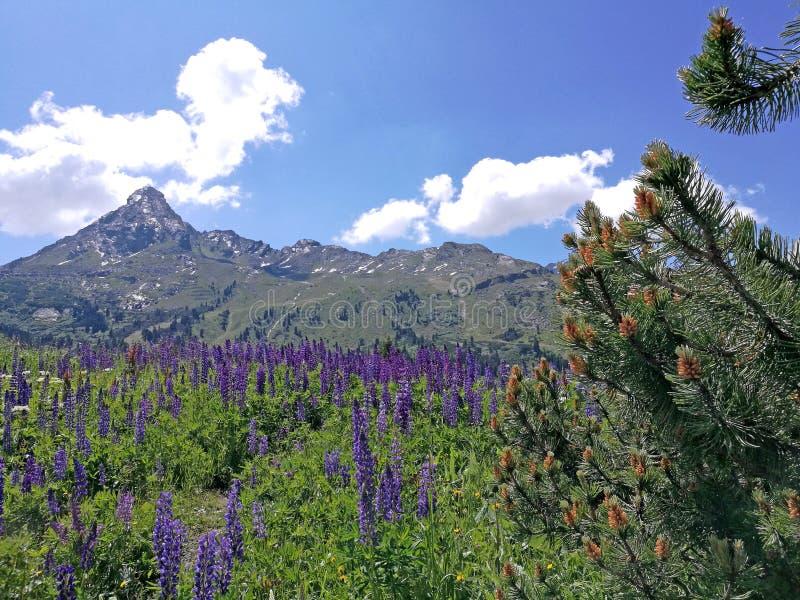 Blå lupiner i de höga bergen arkivfoton