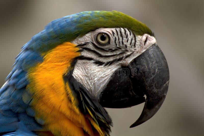 blå macaw royaltyfri foto