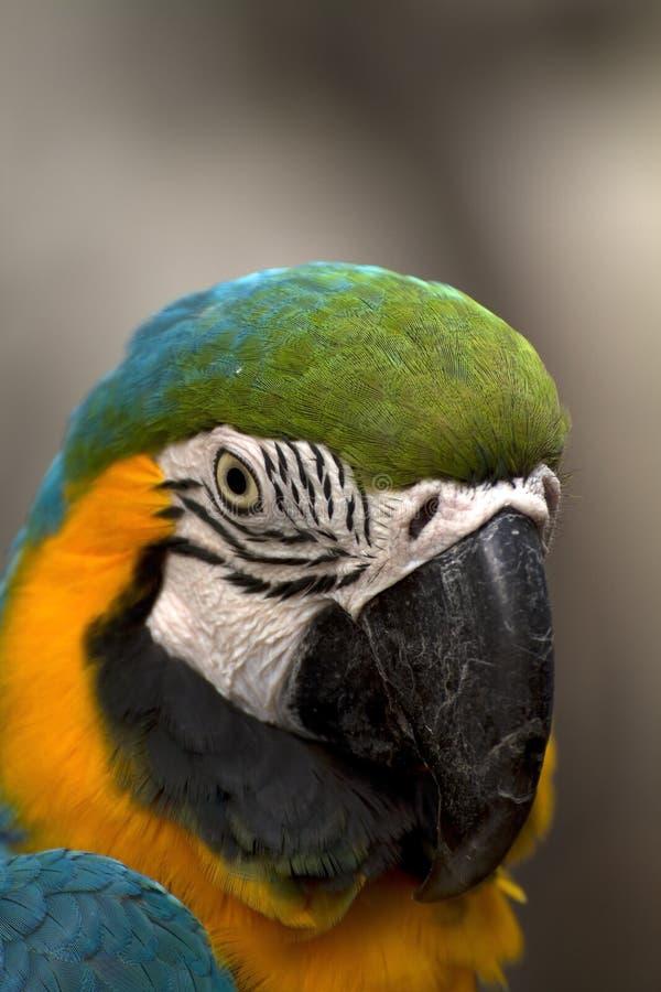blå macaw arkivbilder