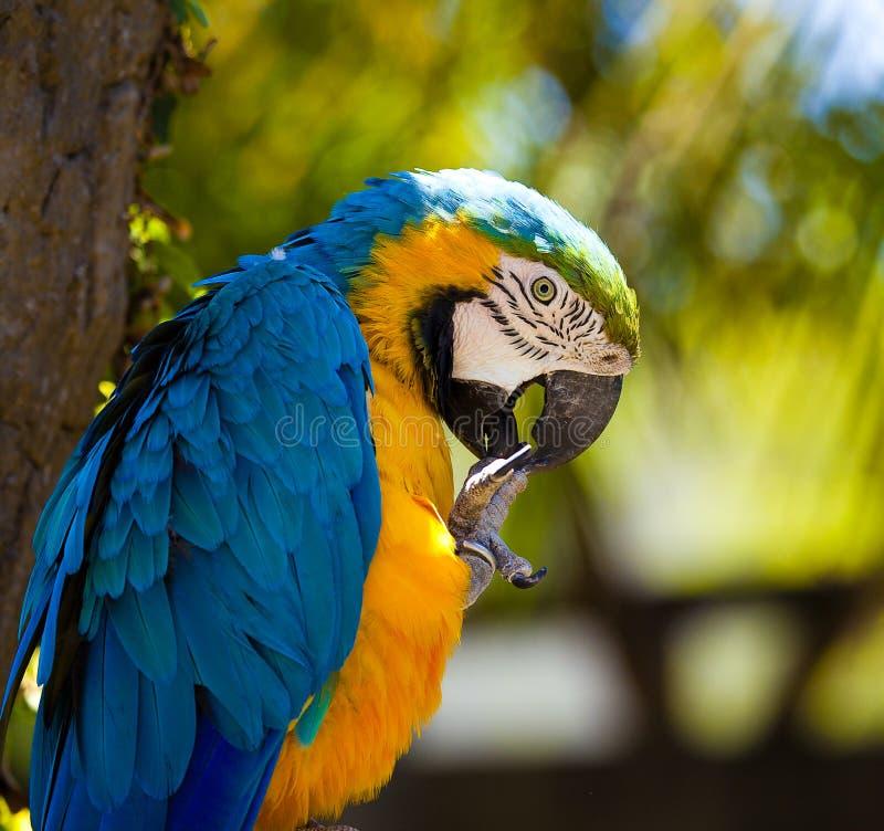 blå macawpapegoja arkivbild