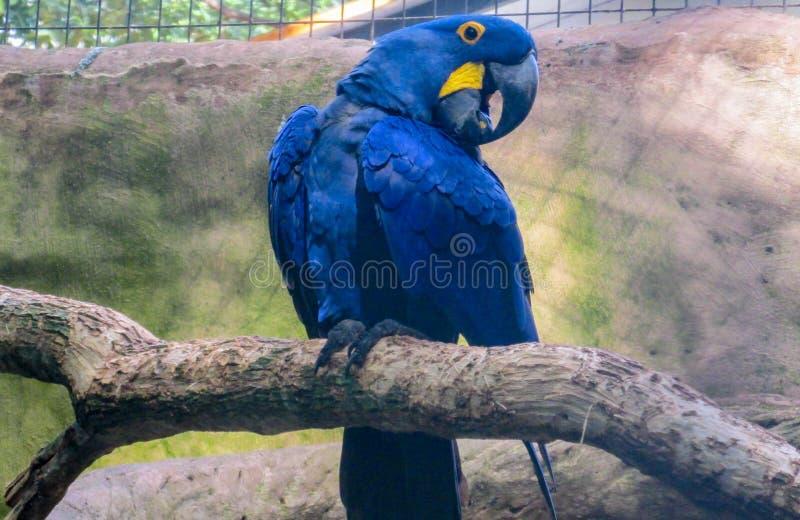 blå macawpapegoja royaltyfri fotografi