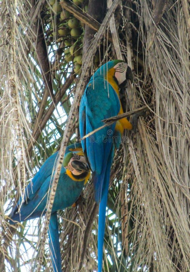 blå macawpapegoja arkivfoton