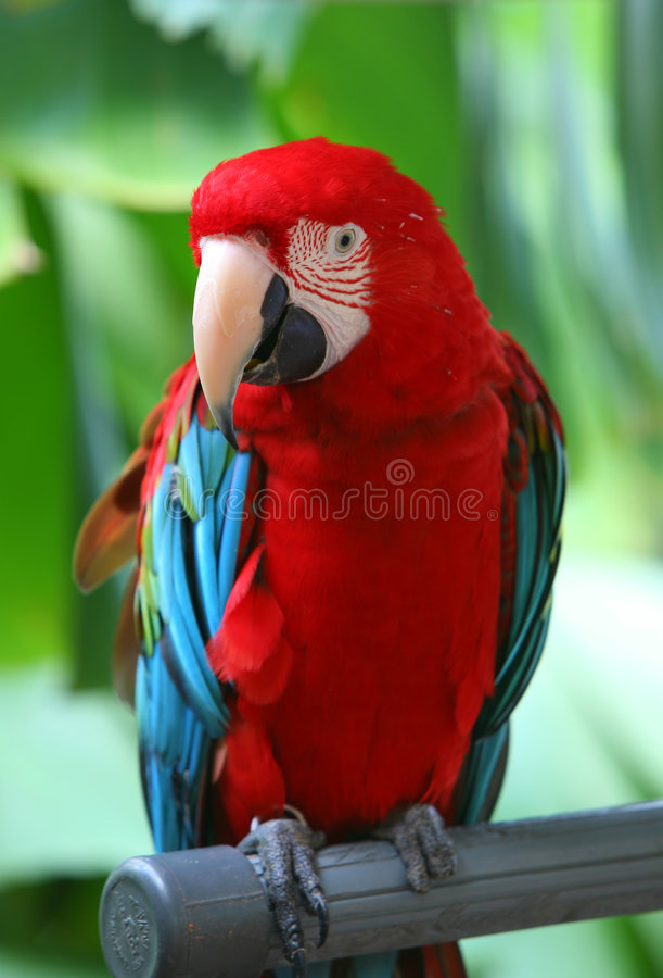 blå macawpapegojared arkivfoton